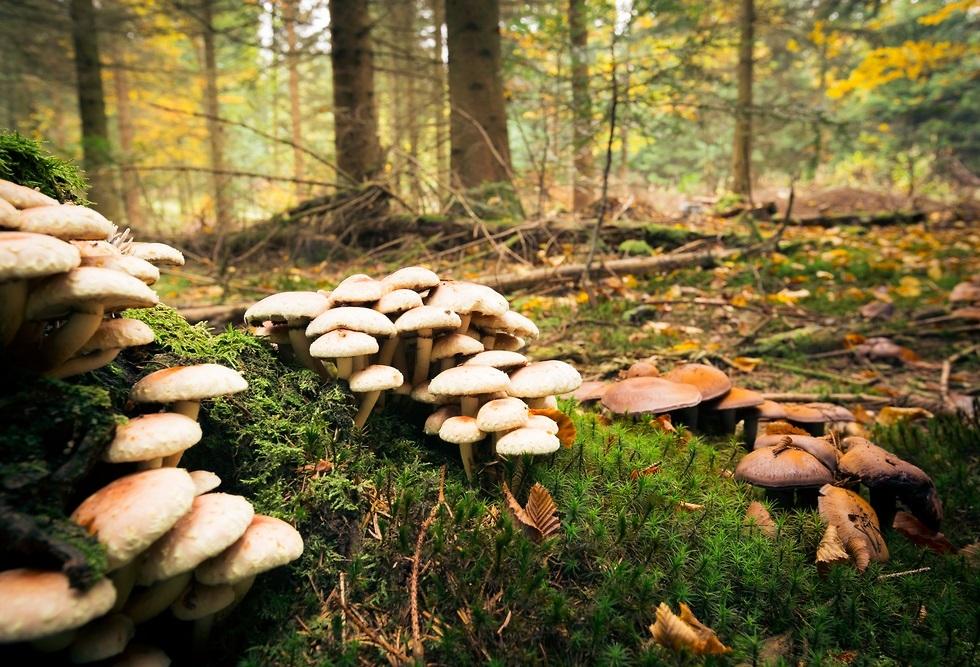 פטריות ביער (צילום: shuttersotck)