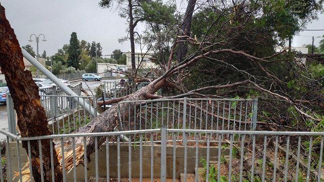 קריסת עץ בפרדס חנה (צילום: אהוד אמיתון, TPS)