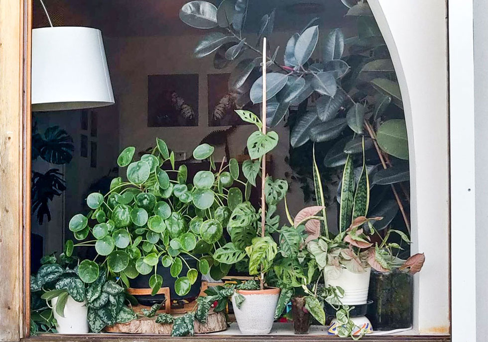 חלון ביתו של עמית אבני, חבר נלהב בקהילת הג'ונגל האורבני הישראלית. למעלה פיקוס גומי, תחתיו סנסיווריה וסינגוניום ורוד. משמאלו המונסטרה אדנסוני, כוכבת השנה עם העלים המחוררים, לידה פילאה פפרומיוידס (הכוכבת של 2018) וקיצוני משמאל סקינדפסוס פיקסוס (צילום: עמית אבני)