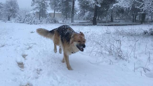 שלג ברמת הגולן (צילום: עמיר בן דוד)