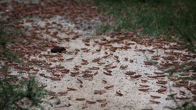 נחיל ארבה קניה מזרח אפריקה (צילום: EPA)