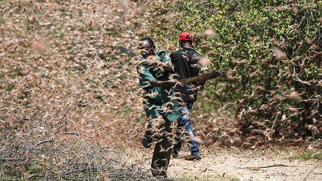 נחיל ארבה קניה מזרח אפריקה (צילום: AP)