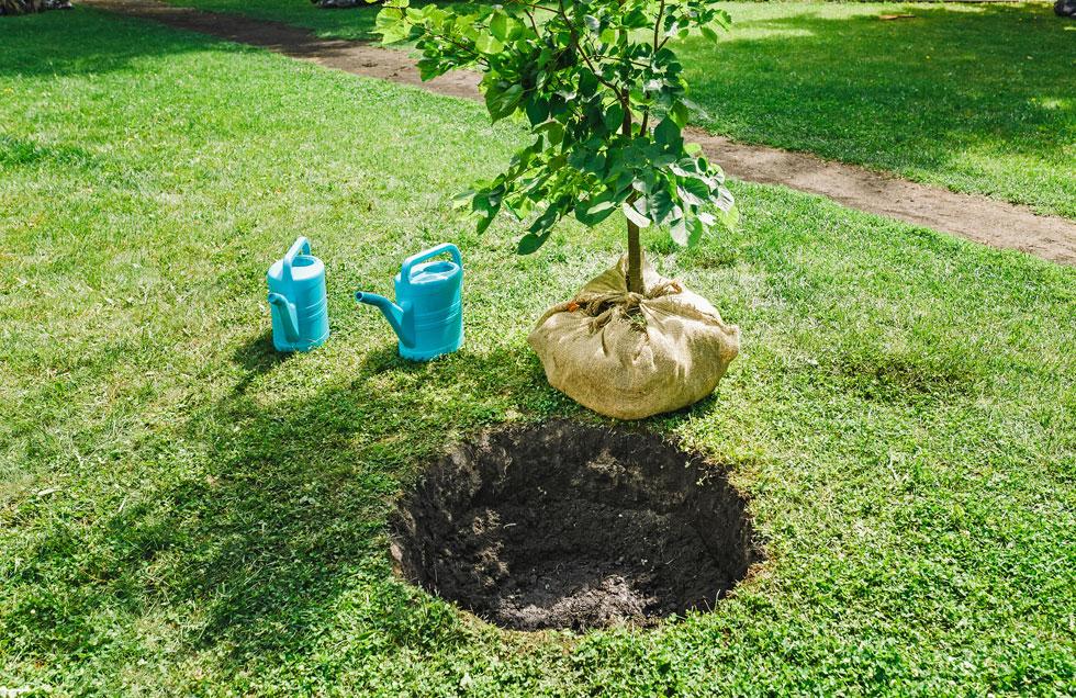 בור השתילה אמור להיות גדול פי 2-3 מגוש השורשים אך עמוק רק קצת יותר מגובה השורשים (צילום: Shutterstock)