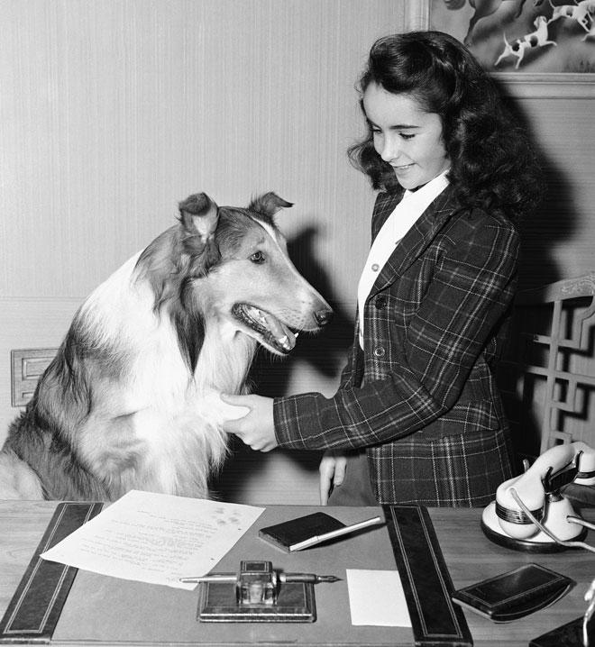 """הגרסה התמימה של טיילור, בסרט """"לאסי חוזרת הביתה"""". 1943 (צילום: AP)"""