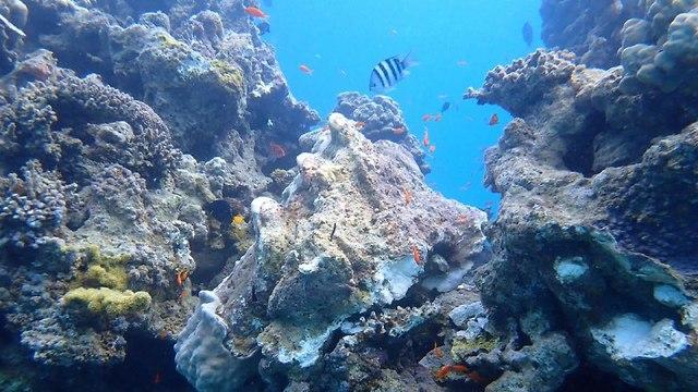 אלמוגים שנפגעו במפרץ אילת (צילום: ד
