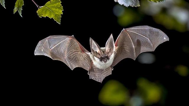 עטלף (צילום: shuttersotck)