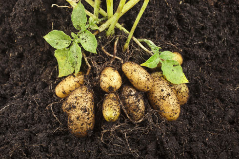 אם נחכה חודשיים-שלושה, נקבל ירק חדש שלם מכל חתיכה שטמנו באדמה (צילום: Shutterstock)