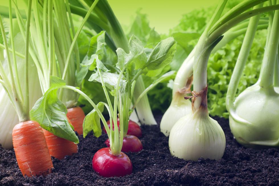 כך יצמח הסלט שלכם בגינה או באדנית. לחצו על התמונה  (צילום: Shutterstock)