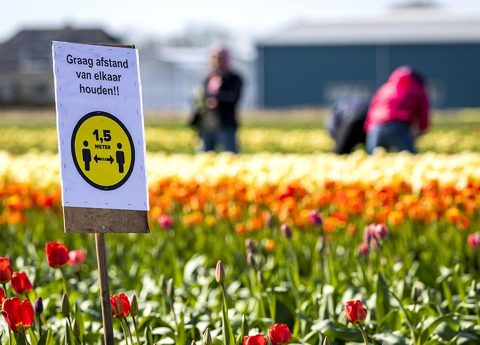 נגיף קורונה הולנד ליסה שמירת מרחק שדה פרחים  (צילום: AFP)