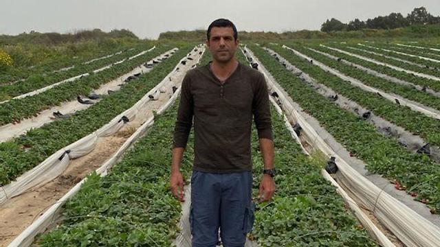 חקלאים מייבשים את שדות התותים (צילום: אולאב שבתאי )