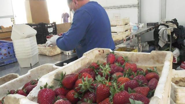 שדות תותים במושב גאולים (צילום: נדב אבס)