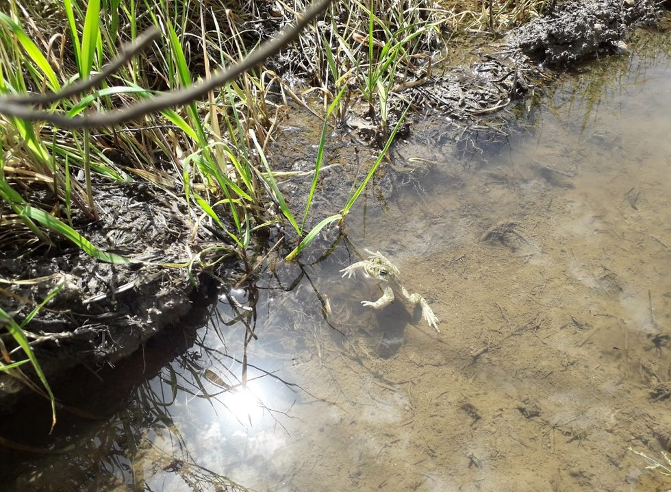 צפרדע במים (צילום: מיכה חנונה)