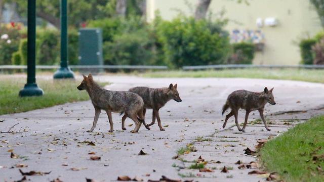 תנים בפארק הירקון תל אביב (צילום: מוטי קמחי)