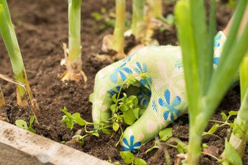 להקפיד לנקש עשבים שעלולים לגזול מהירקות שלנו מים יקרים ומשאבים חיוניים (צילום: Shutterstock)