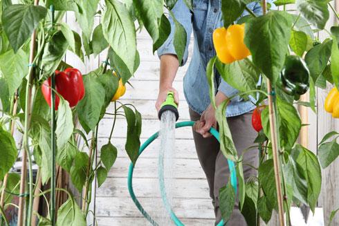מומלץ לא להרטיב את העלים. עלים רטובים מזמינים מזיקים צמאים (צילום: Shutterstock)