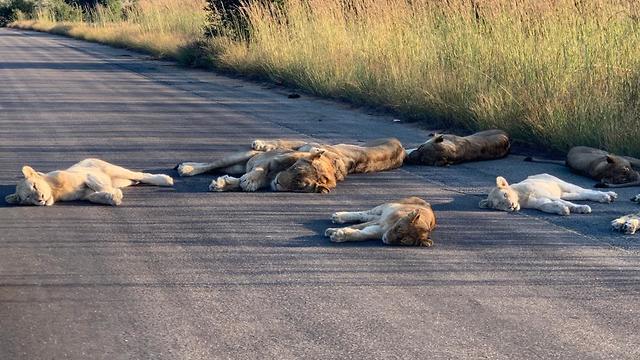 אריות ישנים על כביש בשמורה בדרום אפריקה (צילום: מתוך טוויטר)