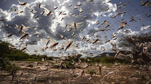 ארבה באזור כפרי בקניה (צילום: Sven Torfinn/AP)