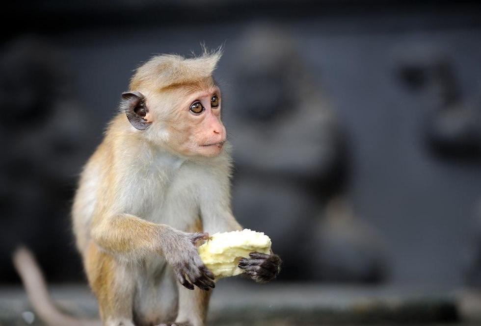 קוף מקוק ()
