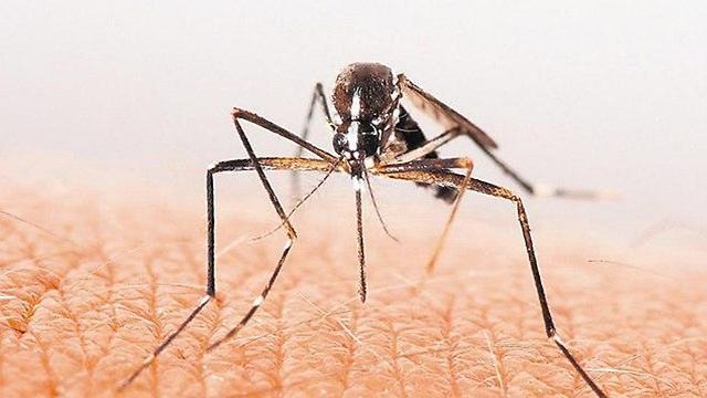 יתוש ()