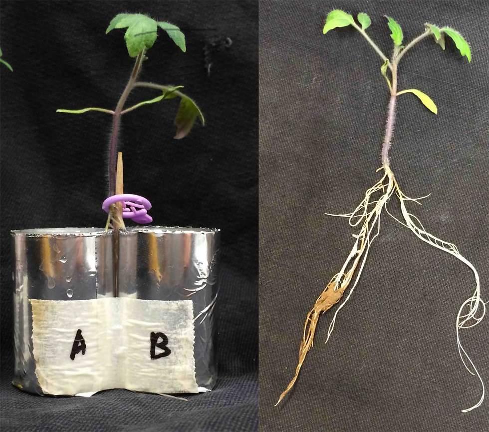 צמח עגבנייה עם שורש מפוצל. שינויים בחיידקי הקרקע בצד A משפיעים על הפרשות מהשורשים בצד B (צילום: מסע הקסם המדעי, מכון ויצמן)
