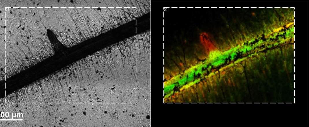 שורשי עגבנייה. מימין: דימות ספקטרומטריית מסות החושף את ריכוזם ומיקומם של כימיקלים שונים (המיוצגים על-ידי צבעים שונים). שיטה זו סייעה לחוקרים לעקוב אחר הפרשות החומרים מהשורשים (צילום: מסע הקסם המדעי, מכון ויצמן)
