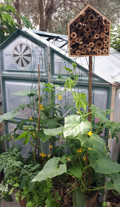 הדליה של מלפפונים. מימין למעלה - מלונית לחרקים טובים (צילום: באדיבות רודה גינון ונוף)