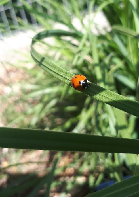 חרקים כמו מושית השבע (חיפושית משה רבנו) וגמל שלמה הם ציידי מזיקים מוצלחים ביותר  (צילום: באדיבות רודה גינון ונוף)