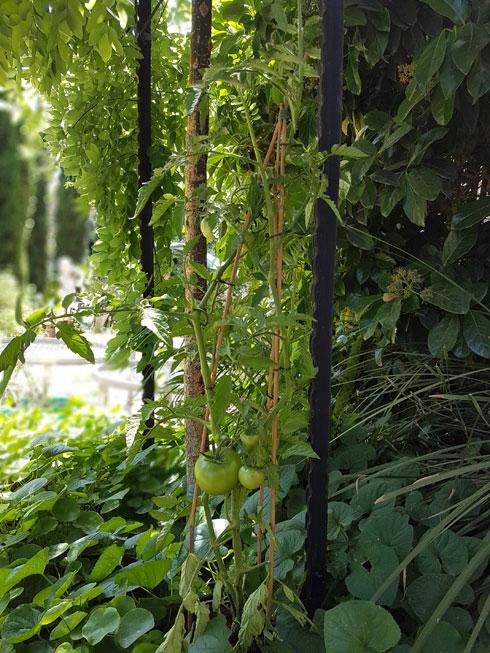 עגבניות שרי במתקן הדליה (צילום: משתלות יגור)