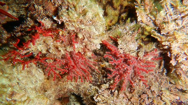אלמוגים באזור חדרה (צילום: מיכל גרוסוביץ')