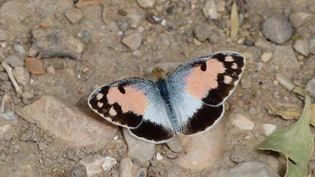 פרפר מסוג דְּרוֹמִי הַסַּלְוָדוֹרָה (אבנר רינות, החברה להגנת הטבע)