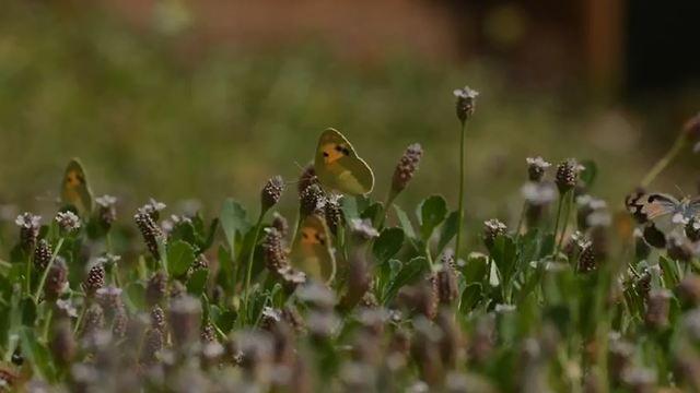 פרפרים מסוג דְּרוֹמִי הַסַּלְוָדוֹרָה (נועם וייס, החברה להגנת הטבע)