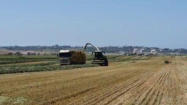 חקלאות פוסט קורונה: קציר בשדות שבעוטף עזה ( צילום: מועצה אזורית מרחבים)
