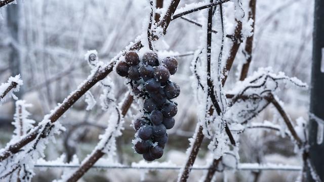 ענבים קפואים (צילום: shutterstock)