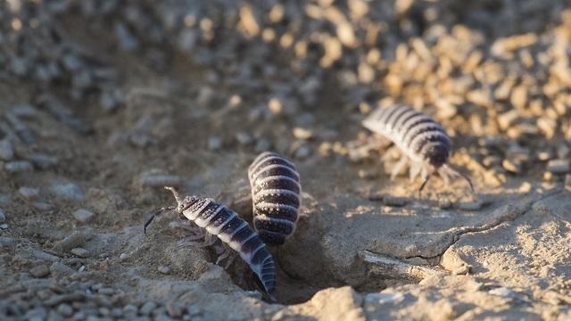 טחבן המדבר (צילום: shutterstock)