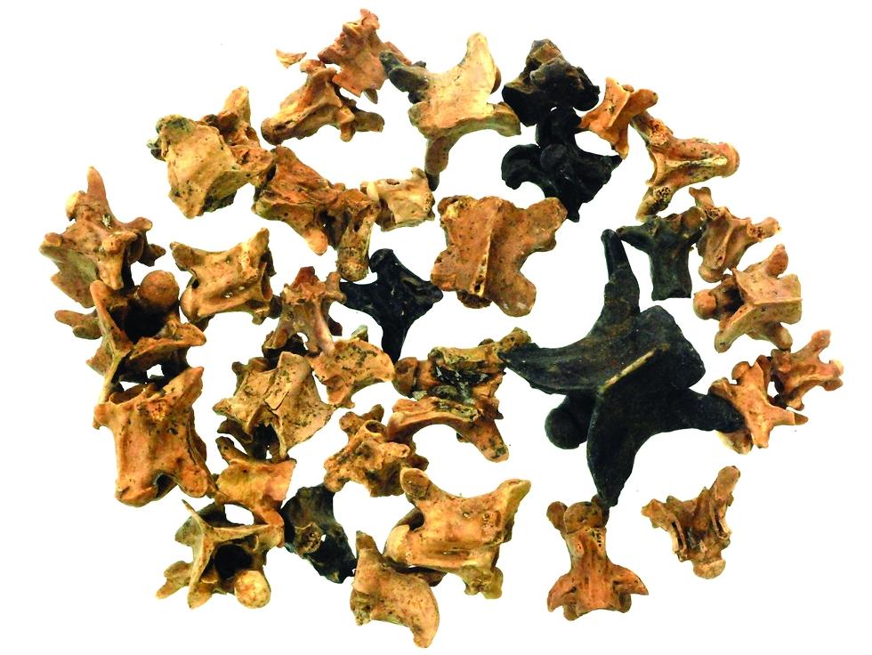עצמות בעלי חיים שנמצאו באזור (צילום: רועי שפיר)