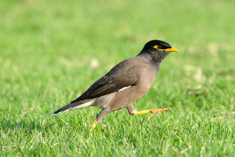 """""""המיינה היא אמנם ציפור רועשת, אבל יש לה מנעד קולי מאוד רחב והיא שרה מאוד יפה. נסו להקשיב למיינות כשהן יושבות על עמוד גבוה ושרות"""" (צילום: דניאל ברקוביץ)"""