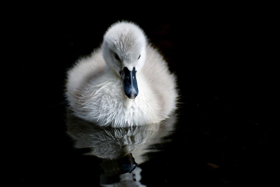 צילום של טרין ברלינג: אפרוח שנולד בפארק בושי בדבלין במהלך הסגר ושהוכיח שכוחם של החיים חזק מכל נגיף