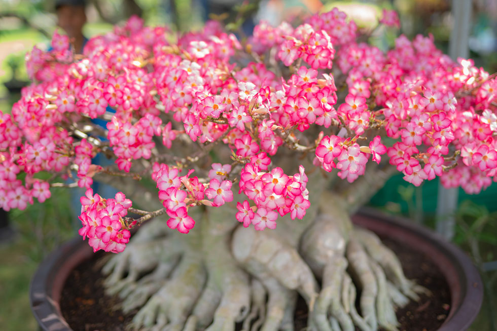 איך שושנת המדבר תפרח ככה במרפסת שלכם בחודש אוגוסט? לחצו למדריך (צילום: Shutterstock)