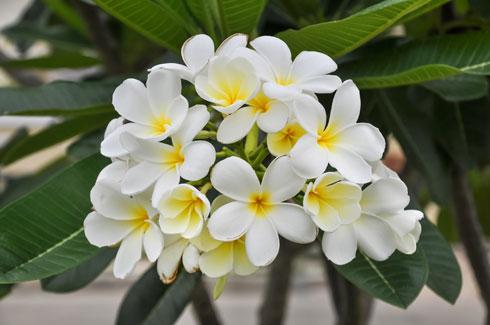 עלים גדולים ומבריקים ופרחים ריחניים המזכירים את הפרחים המשמשים את בני הוואי להכנת המחרוזות (צילום: Shutterstock)
