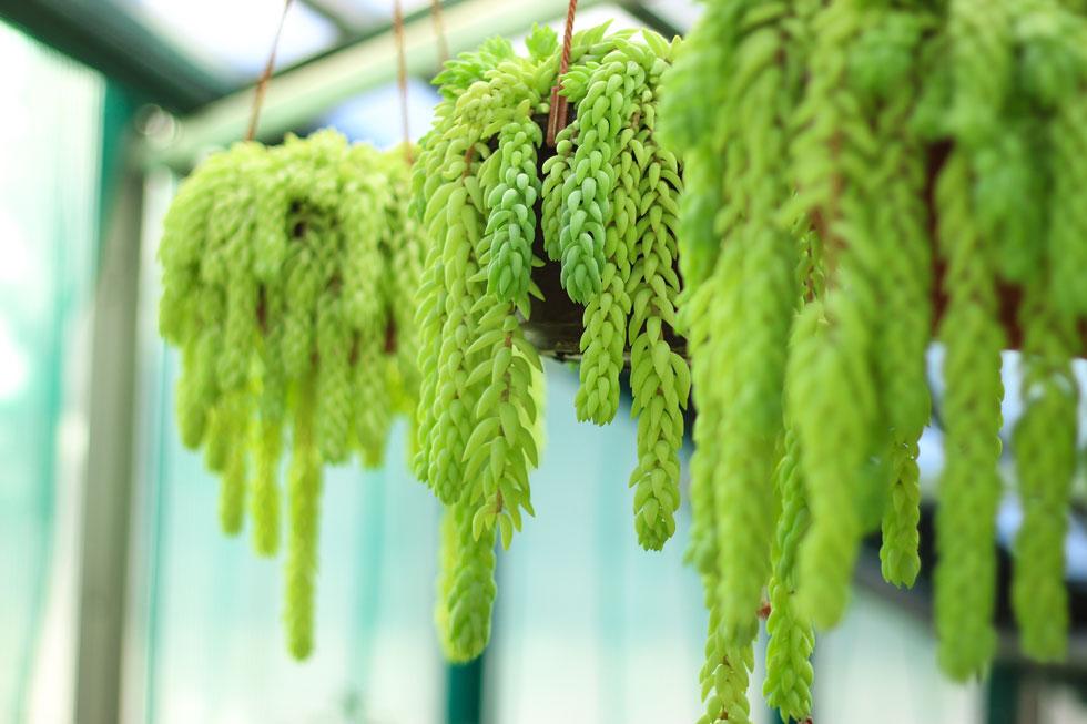 צורית מורגן. צבע העלים המעט כחלחל וצורת הצימוח הנשפכת יוצרים דימוי של זרימת מים גם במקומות היבשים ביותר (צילום: Shutterstock)