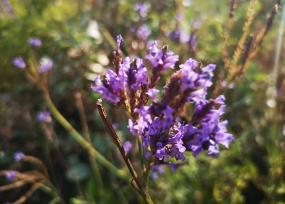 לבנדר קנרי. אחד מזני הלבנדר המוצלחים ביותר לחובבי הפריחה הסגולה נוסח טוסקנה ופרובאנס (צילום: Shutterstock)