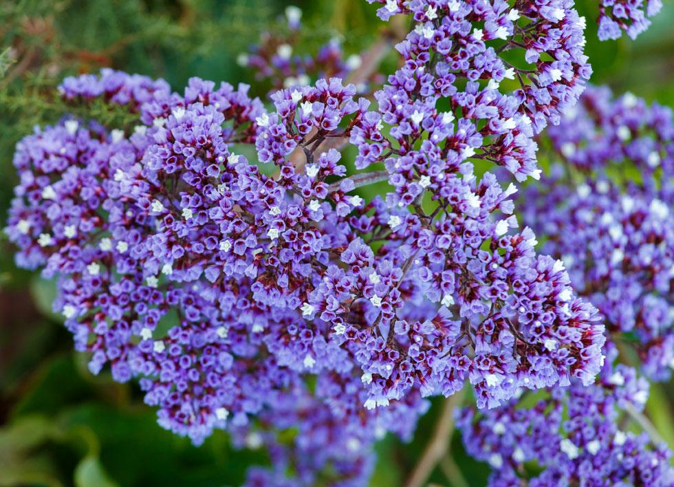 צמח האלמוות. עדעד קנרי (צילום: Shutterstock)