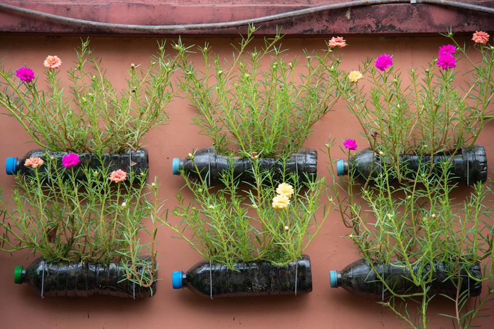 לפורטולקה פרחים בשלל צבעים מהממים הנפתחים בבוקר ונסגרים עם השקיעה (צילום: Shutterstock)