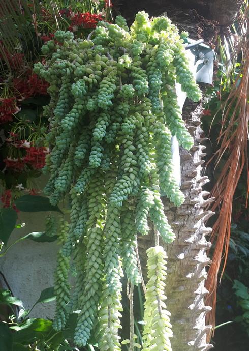 ניתן לגדל צורית מורגן במכלים קטנים במיוחד ללא חשש (צילום באדיבות רודה גינון ונוף)