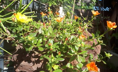 פורטולקה. אם תרצו לשלב פרחים יחד עם הצמחים הקשוחים שלכם (צילום באדיבות רודה גינון ונוף)