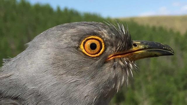 אונון (צילום: The Mongolia Cuckoo Project)