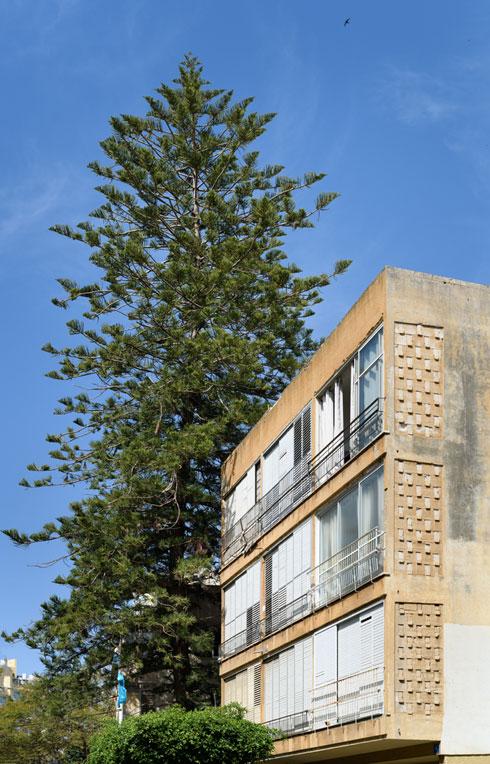 עץ בן 70 שנה ייכרת בגלל חנייית תמ''א. זה קורה בכל מקום בארץ, כמו כאן, ברחוב פרץ חיות בת''א (צילום: יונתן בלום)