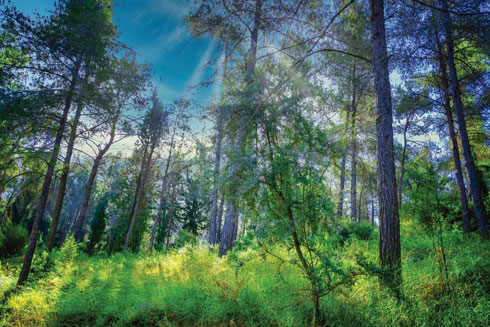 11,000 דונם של חורש. יער צרעה  (צילום: בוני שיינמן)