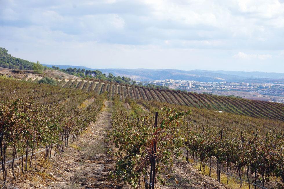 ארץ הכרמים והיינות של הרי יהודה  (צילום: צביקה בורג)