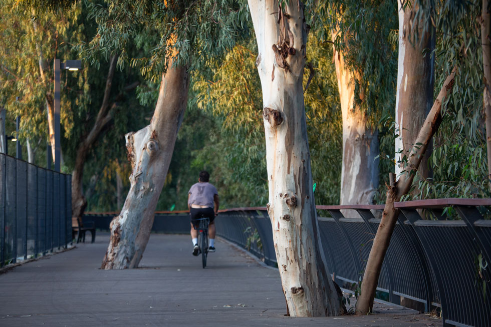 אדריכליות הנוף עליזה ברוידא ורות מעוז לא עקרו אף עץ בפרויקט. חלק מוטמעים בתוך השביל, ורבים נוספים ניטעו על גדות הנחל (צילום: דור נבו)
